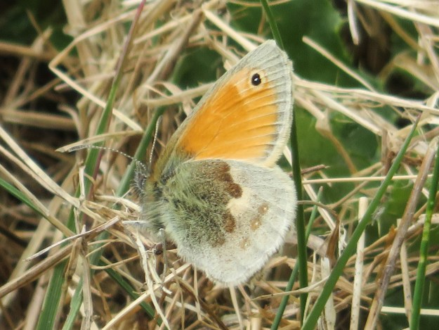 Side view of butterfly with orange top wing and beige and brown underwing