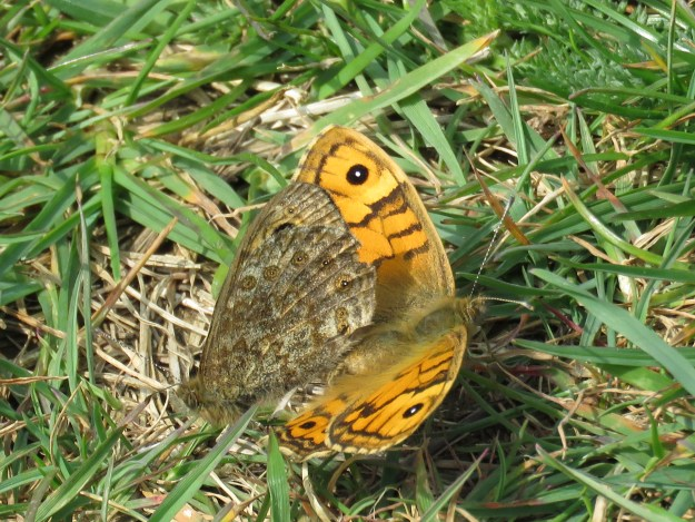 Butterfly with open, orange, wings, mating with one seen sidways, which is pale brown