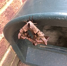 Two large pinkish moths in mating position