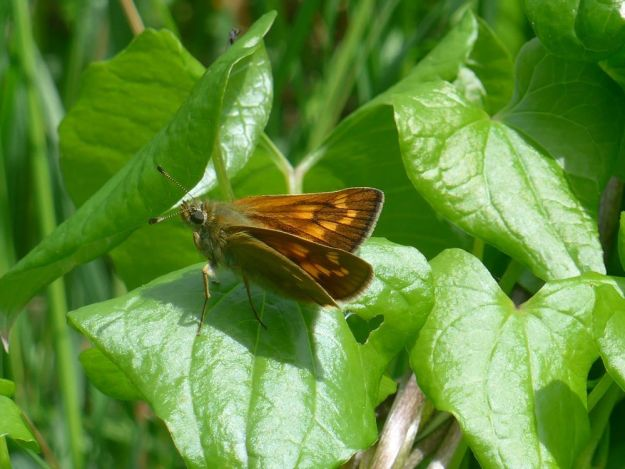 a bright orange brown butterfly resting on leaves