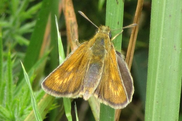 a golden brown butterfly on grass stems showing the paw print features on upper forewings