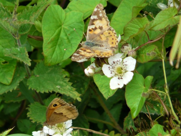 an open winged Painted Lady and partially open winged Meadow Brown  on bramble