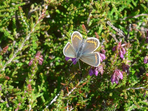 Brown females Silver -studded blue  on heather