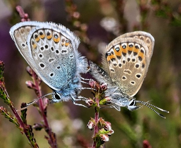 a blue male and brown female butterfly both with orange spots and blue studs mating