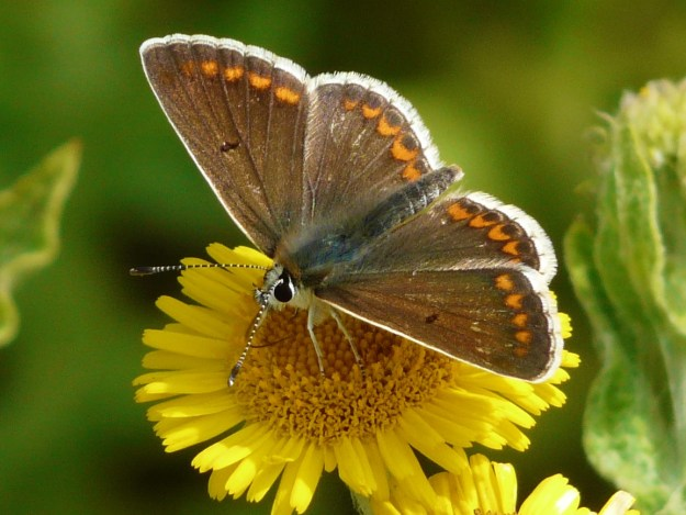 brown butterfly with orange spots around the edges of all wings and a white border
