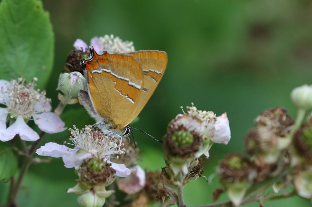 Brown and Orange Butterfly showing white lines across bottom of underwings