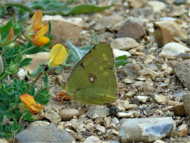 Yellow butterfly with wings closed resting near Birds foot trefoil