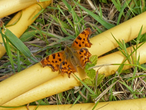 Orange and Brown butterfly with wings like pieces of a jigsaw