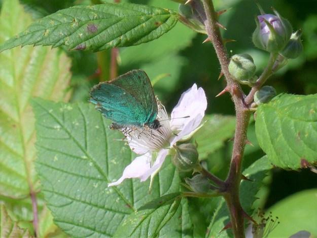 green hairstreak nectaring on bramble flowers