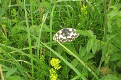 Black and white buttrfly in long grass