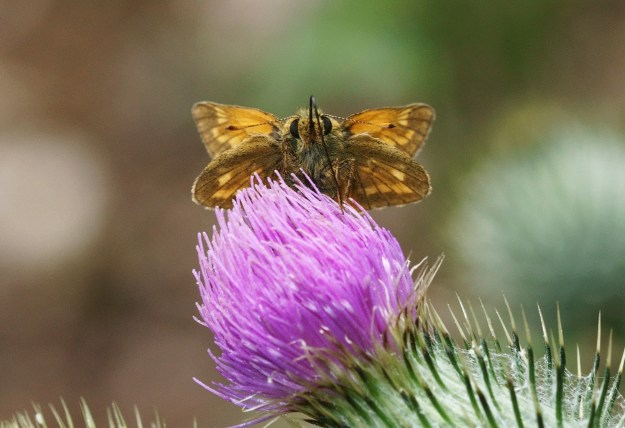 Golden butterfly with dark markings nectaring on a thistle
