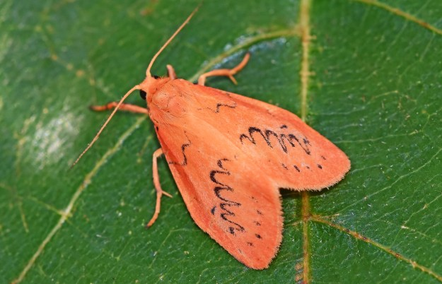 small rosy red moth with black markings on upper forewings