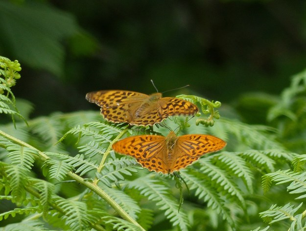 two orange and brown frittillaries , male and female showing colour and size difference. Female is duller orange