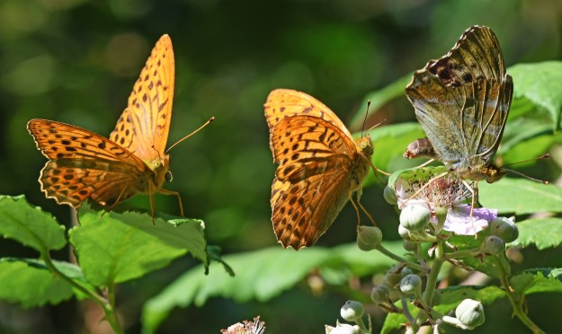 two orange and brown male butterflies courting a greenish grey female Valesina form