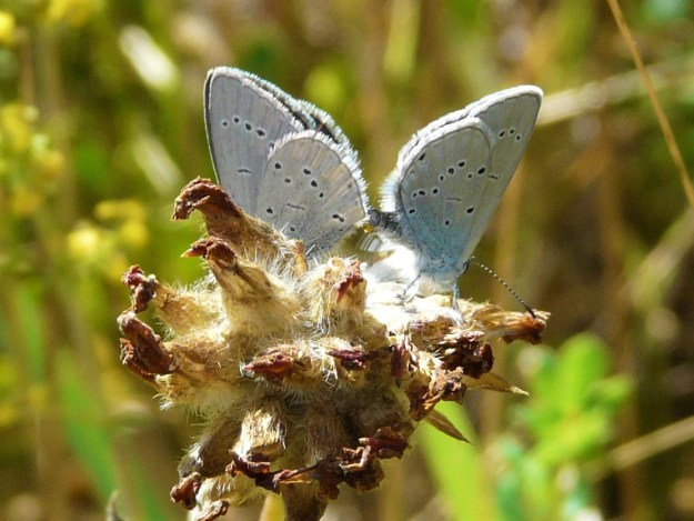 small Blue butterflies mating and showing their pale blue underwings with tiny black dots