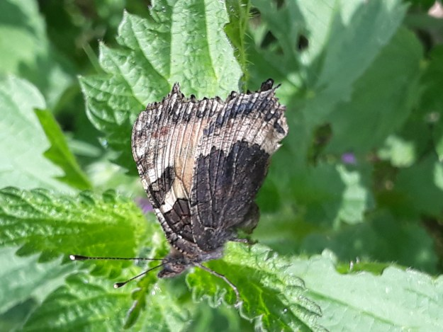 underwing phooto of a small Tortoiseshell  , black with a  pinky grey cross band