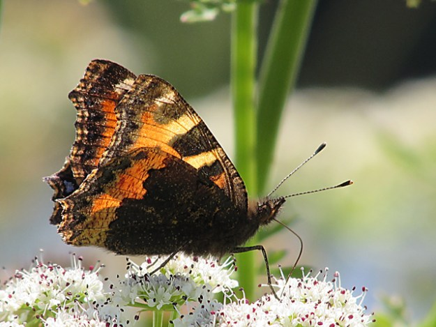 Side view of a butterfly with orange, brown and cream colouring