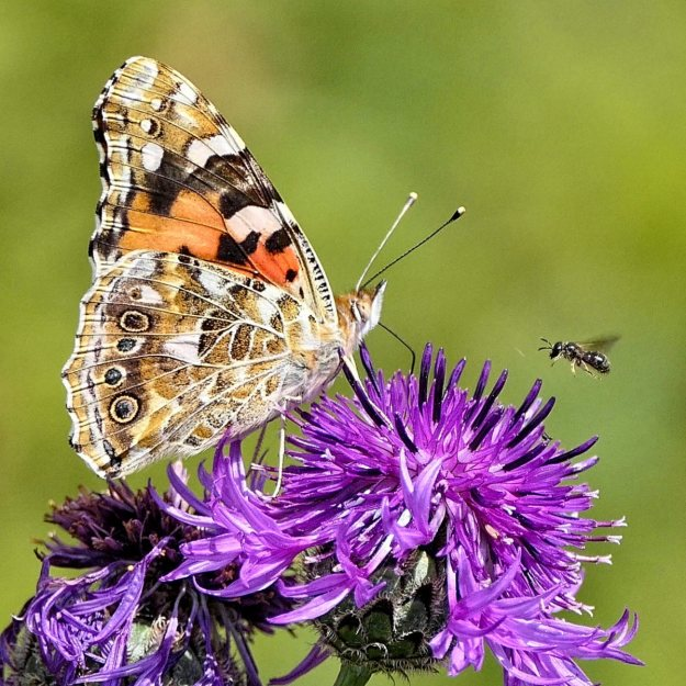 A Painted Lady with a bee on Knapweed