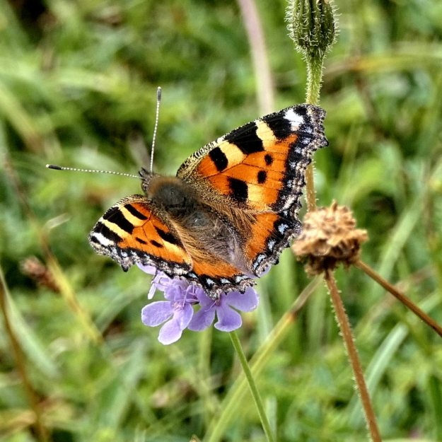 Orange , BLack, white and Yellow Butterfly nectaring on Scabious