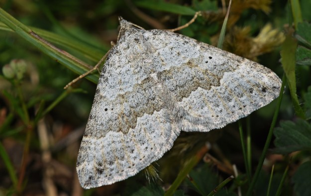 Grey and white highly patterned moth