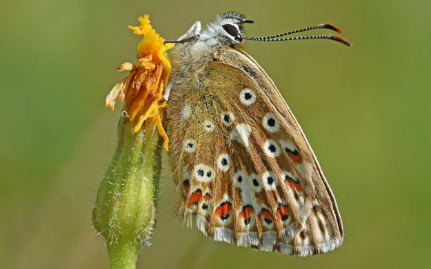 soft brown underwings of a butterfly with orange and black spots in white rings , drying wings after emergence by resting on a dried flowerhead