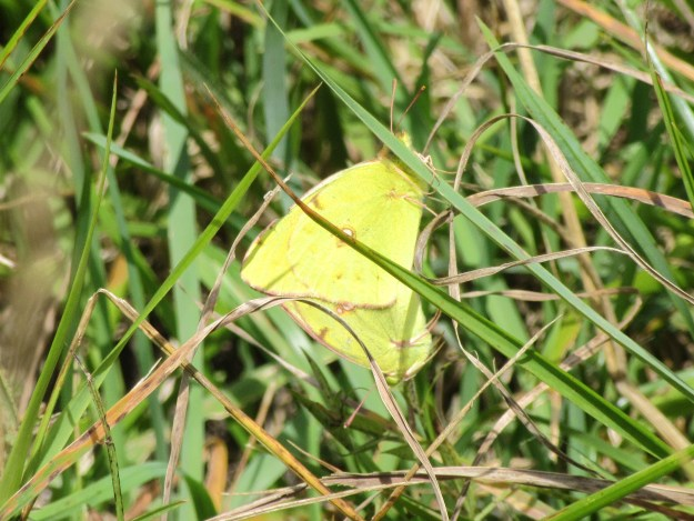 Two yellow butterflies in long grass