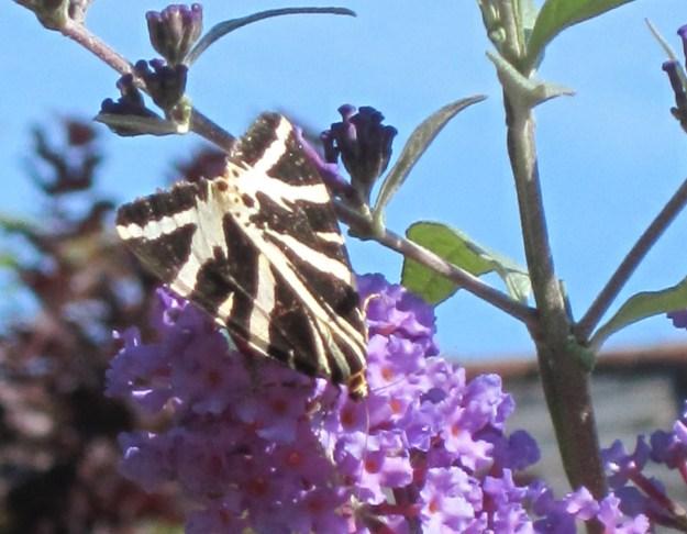 Black and white geometriacallt striped moth on buddleia