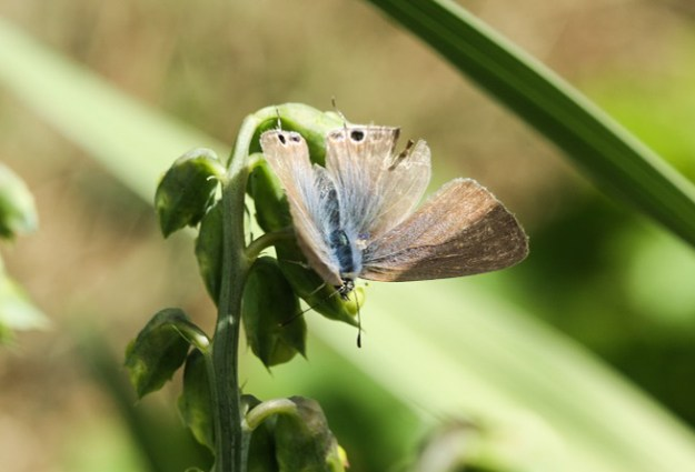 A browny blue butterfly with small tails to its hind wings
