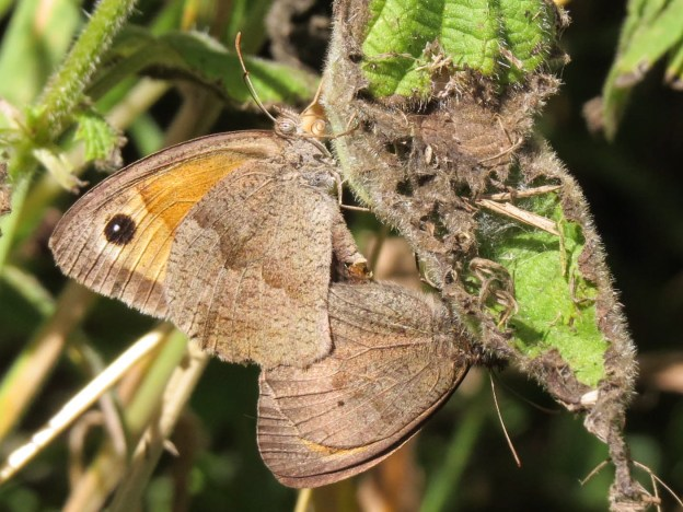 Two brown butterflies mating