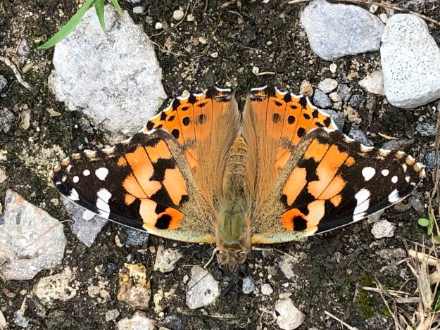 BLack, orange and white buitterfly resting on a gravel track