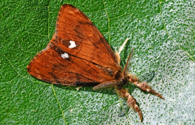 Orange brown moth with one whote dot on inside edge of each forewing