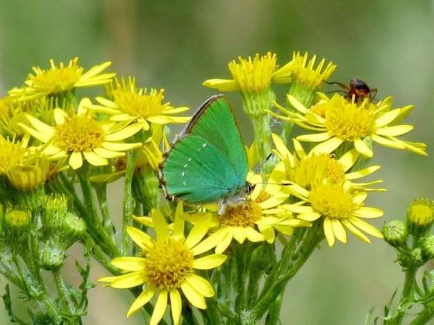 Bright green Hairstreak on Ragwort