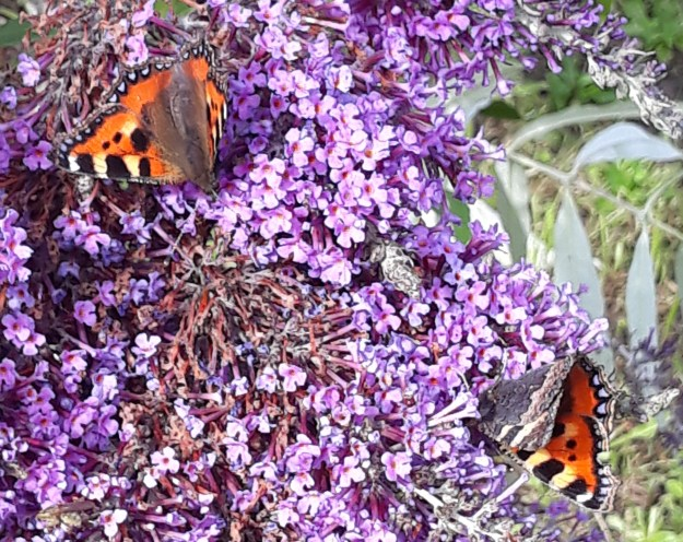 View of two orange coloured butterflies on Buddleia