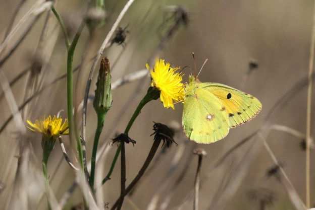View of Yellow butterfly