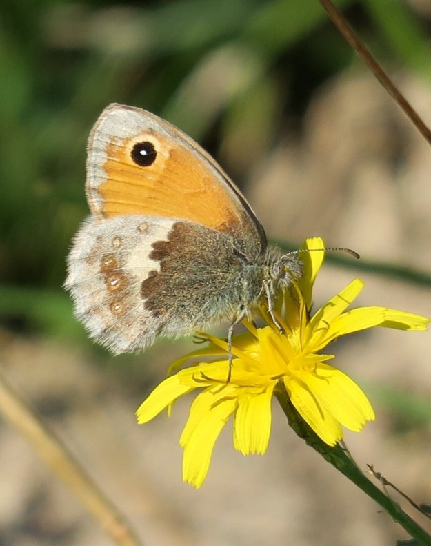 View of a brown and orange butterfly on yellow flower