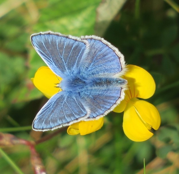 View of blue butterfly on yellow flower