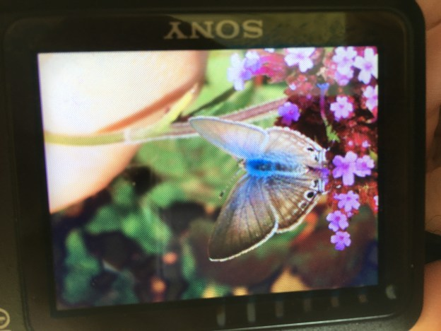Small blue-grey butterfly on a purple flower