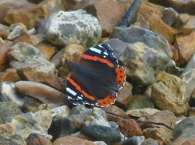 View of red and black butterfly with some white markings