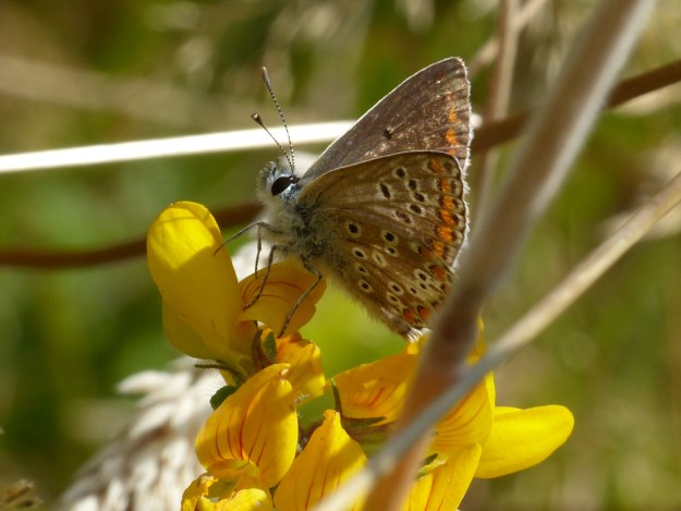 View of brown and orange butterfly on gorse
