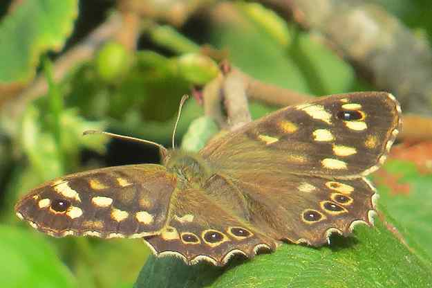 View of brown butterfly with yellow spots resting on a green leaf