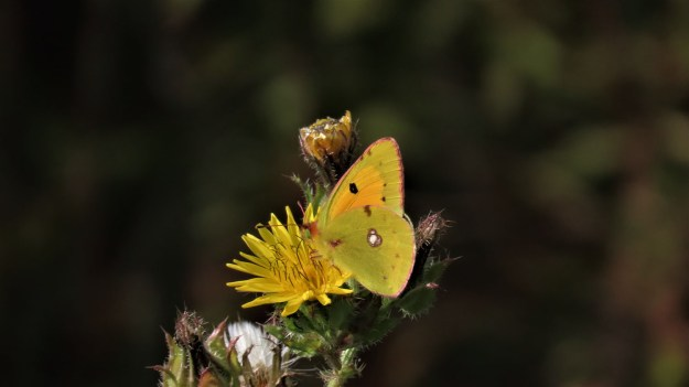 View of yellow and orange butterfly on yellow flower
