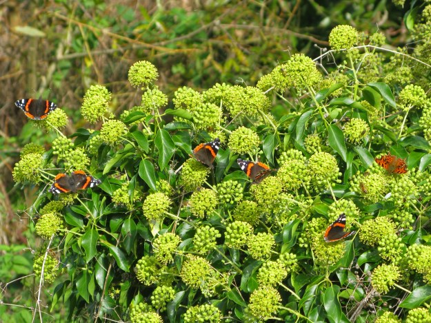 View of several black and orange butterflies on ivy