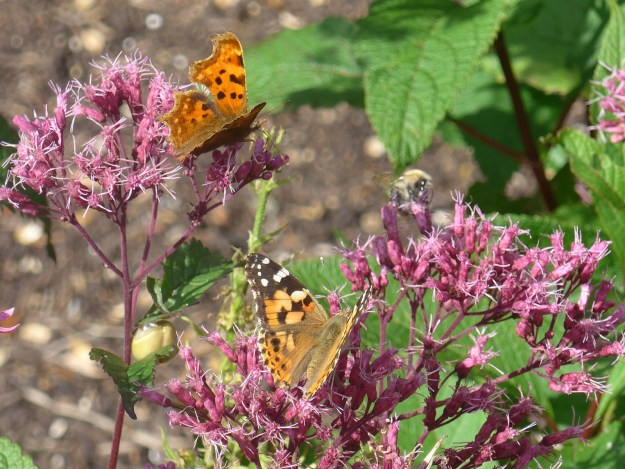 View of two butterflies on pink flowers - both orange and black but one also with white wing markings.