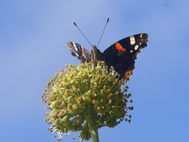 View of black and reddish butterfly with white wing markings nectaring on Ivy flower.