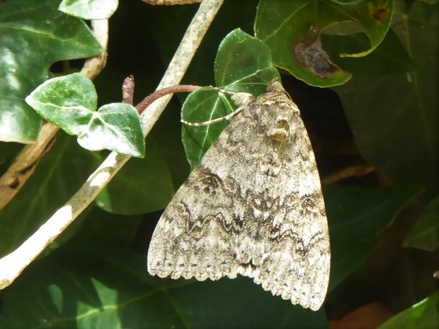 Large grey/brown  highly poatterned moth resting with closed wings