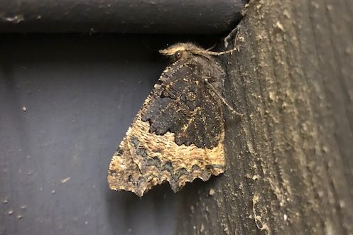 View of dark and light brown butterfly with wings closed hibernating in a barn.