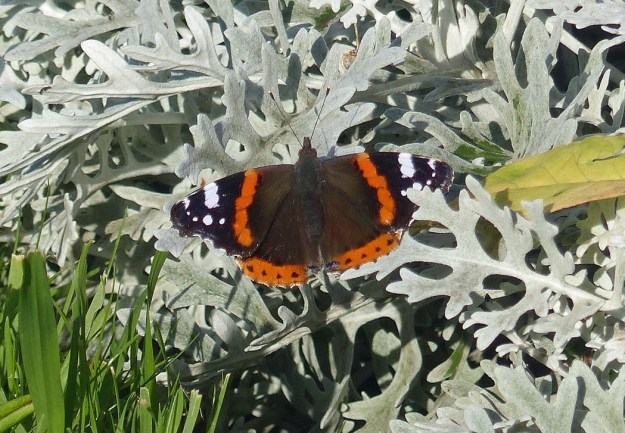 View of reddish orange and black butterfly with white markings on the wings resting on a silver leafed Artemisia plant.