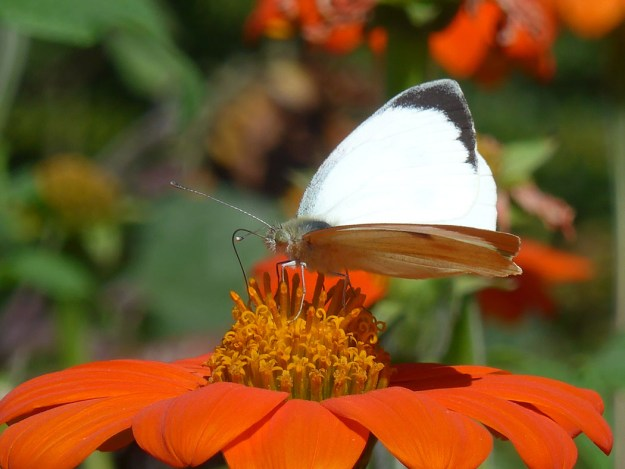 View of large white butterfly with black wingtips resting on bright reddish orange flower.