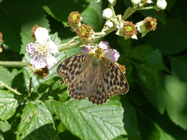 Silvery green heaviliy marked butterfly nectaring on brambles
