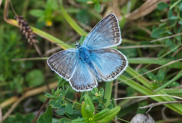 Blue butterfly showing forewings, whilst resting on grass